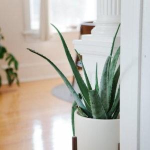 Aloe Vera - Plante d'intérieur décorative
