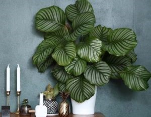 Calathéa - Plante d'intérieur décorative