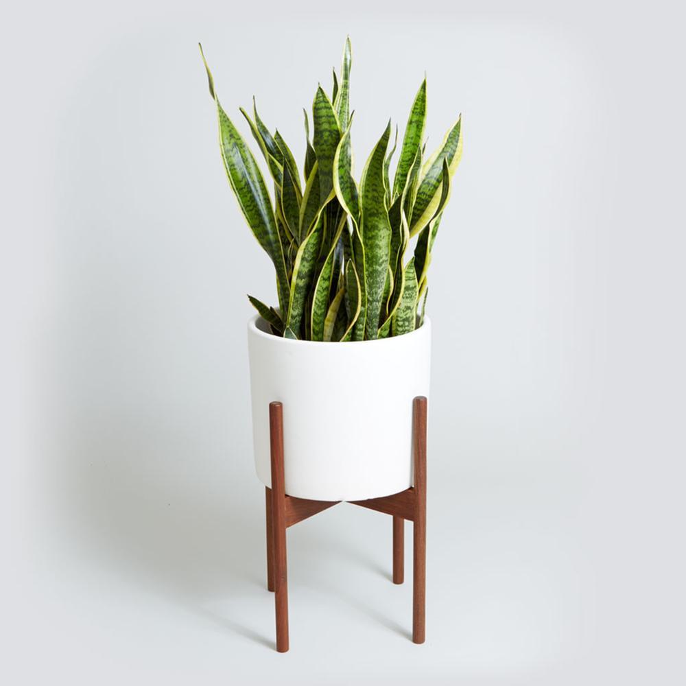 Sansevieria - Plante d'intérieur décorative