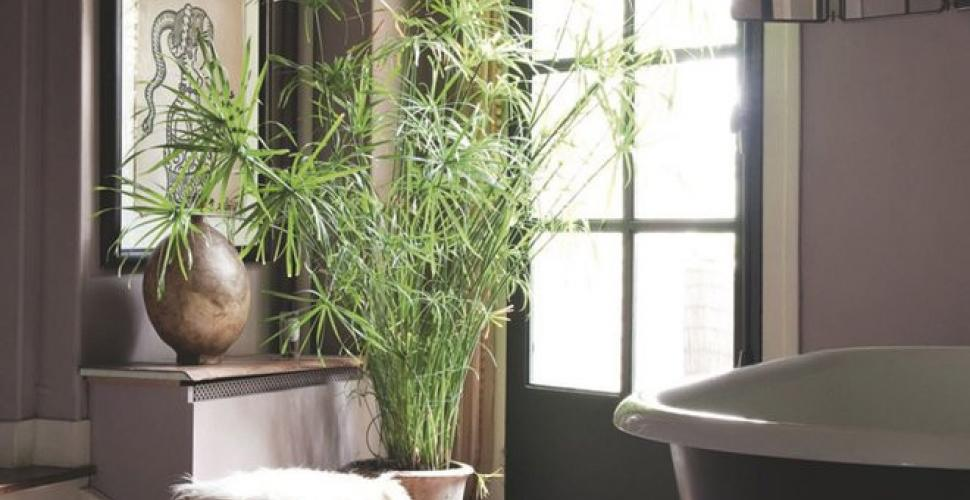 Le Papyrus - Plante d'intérieur décorative