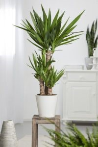 Yucca - Plante d'intérieur décorative